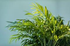 Chrysalidocarpus Chrysalidocarpus是淡黄色特写镜头 一棵年轻棕榈树的叶子 库存照片