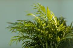 Chrysalidocarpus Chrysalidocarpus是淡黄色特写镜头 一棵年轻棕榈树的叶子 免版税库存图片