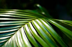 Chrysalidocarpus leaves Royalty Free Stock Images