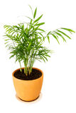 Chrysalidocarpus lutescens palm tree Royalty Free Stock Photography