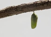 Chrysalis бабочки монарха Стоковые Изображения