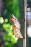 Chrysalis раковины общей birdwing бабочки Стоковые Фотографии RF
