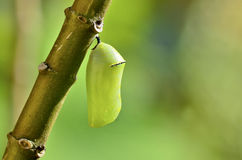 Chrysalis Stock Photo