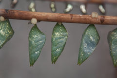 Chrysalis Royalty Free Stock Photography