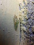chrysalis Imágenes de archivo libres de regalías