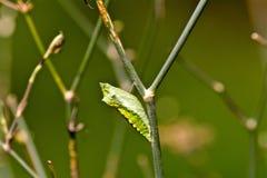 chrysalis Arkivfoto