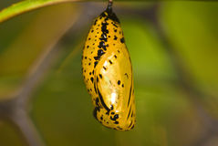 Chrysalis of butterfly Stock Image