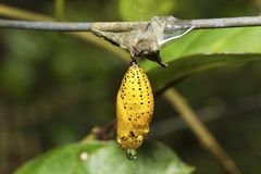 Chrysalis of butterfly Royalty Free Stock Image