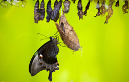 Chrysalis Royalty Free Stock Photo