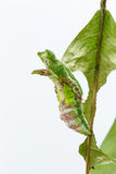 Chrysalis of commander butterfly on leaf Royalty Free Stock Photography