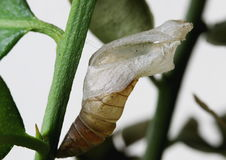 Chrysalis of Common lime butterfly, Papilio demoleus. Shell remained after the butterfly transformed and flew off Royalty Free Stock Images