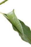 Chrysalis of the  Graphium sarpedon. A chrysalis of the  Graphium sarpedon Stock Image