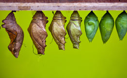 Chrysalis. Hanging from wooden bar stock image