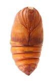 Chrysalis silkworm Stock Images