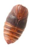 Chrysalis silkworm Royalty Free Stock Photos