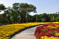 Chrysansumum Festival in Chengde Mountain Resort Stock Photography
