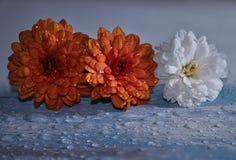 Chrysant stock afbeeldingen