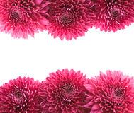 Chrysant Royalty-vrije Stock Foto's