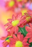 chrysant royalty-vrije stock foto's