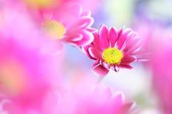 chrysant Royalty-vrije Stock Afbeelding