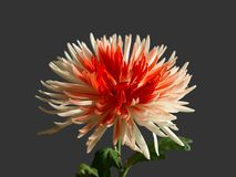 Chrysant Royalty-vrije Stock Foto
