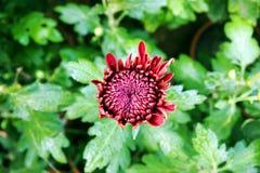 Chrysant in claret-rode kleur stock afbeeldingen
