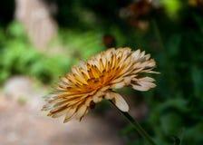 Chrysant die in Tuin bloeien royalty-vrije stock fotografie