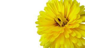 Chrysant - een gele bloem die op de witte achtergrond wordt geïsoleerd stock foto