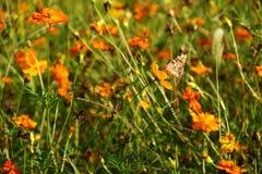 Chrysant en vlinder stock fotografie