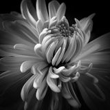 Chrysant  8382 Stock Photography