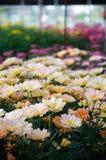 Chrysant (het Zuiden Shannon Xi Yun) Royalty-vrije Stock Afbeeldingen