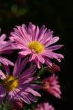 Chrysant met dauwdalingen Purpere Bloemen in de Tuin stock afbeelding