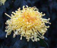Chrysant met Krullende Bloemblaadjes Royalty-vrije Stock Foto's