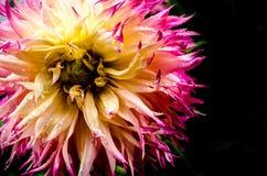 Chrysant met zwarte achtergrond Stock Foto
