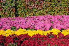 Chrysant parterre stock foto