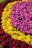 Chrysant parterre royalty-vrije stock foto