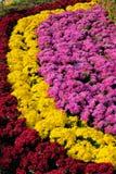 Chrysant parterre royalty-vrije stock foto's