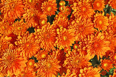 Chrysant in sinaasappel Royalty-vrije Stock Foto