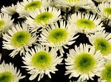 Chrysantemum Royalty Free Stock Image