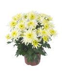 chrysantemum bianco gialla Fotografia Stock Libera da Diritti