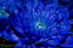 Chrysantemum bleu Photos libres de droits
