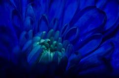 Chrysantemum bleu Photo libre de droits