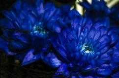 Chrysantemum blu Fotografie Stock