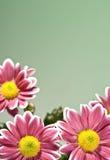 Chrysantemum flowers Royalty Free Stock Images
