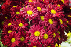 Chrysanth flowers for All the Saints day Royalty Free Stock Images
