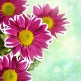 Chrysantemum flowers Royalty Free Stock Photo