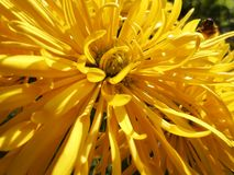 Chrysantemum. Garden flower autumn plant light bright vivid yellow macro Royalty Free Stock Images