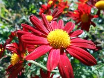 Chrysantemum red. Garden flower autummn red fresh vivid bright Royalty Free Stock Photography