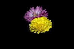 chrysanten Royalty-vrije Stock Fotografie