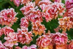chrysanten Royalty-vrije Stock Afbeeldingen